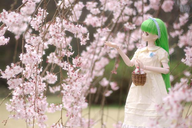 しだれ桜-8