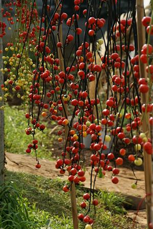 秋色の飾りナスの実がいっぱい。(9/20)