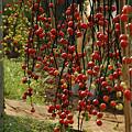 Photos: 秋色の飾りナスの実がいっぱい。(9/20)