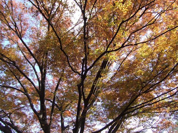 写真: 黄葉の木都内1113a