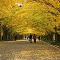 Photos: イチョウ並木を歩くシーン2。(11/15)