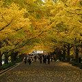 Photos: イチョウ並木を歩く、シーン1。(11/15)