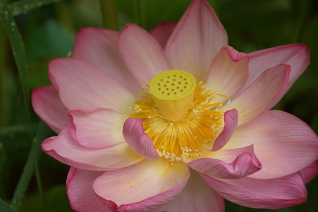 写真: 観蓮会の花満開!140721