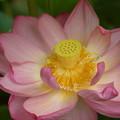 観蓮会の花満開!140721