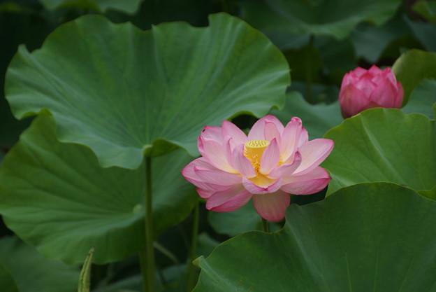 Photos: 観蓮会の花!140721