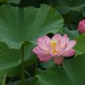 観蓮会の花!140721