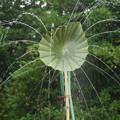 写真: 蓮の葉のシャワー!140721