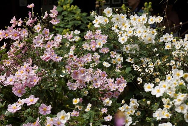 紅白の秋明菊の花の群生、東慶寺14!