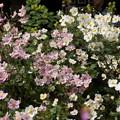 写真: 紅白の秋明菊の花の群生、東慶寺14!