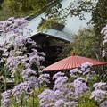 写真: 紫苑咲く境内、海蔵寺14!