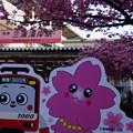 写真: 三浦海岸河津桜20160221a