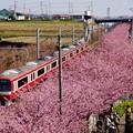 写真: 河津桜と赤い電車20160221b