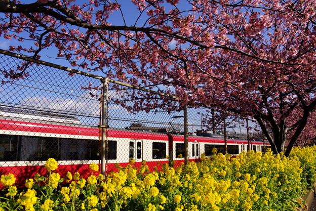 河津桜と電車20160221d