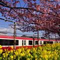 写真: 河津桜と電車20160221d