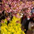 写真: 河津桜と菜の花20160221g