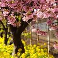 写真: 河津桜と菜の花20160221h