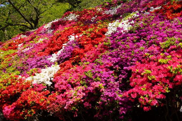 写真: 葉山ツツジ公園20160420b