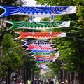 写真: 横浜のこいのぼり20160503a
