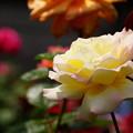 写真: クリーム色のバラ20160514c