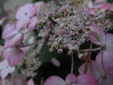 ヤマアジサイの花0426tb