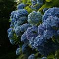 Photos: 姫紫陽花が見頃です0607