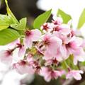Photos: 葉桜へ