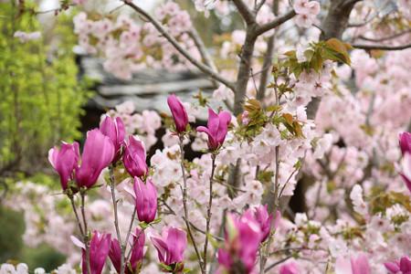 横輪桜 (3)