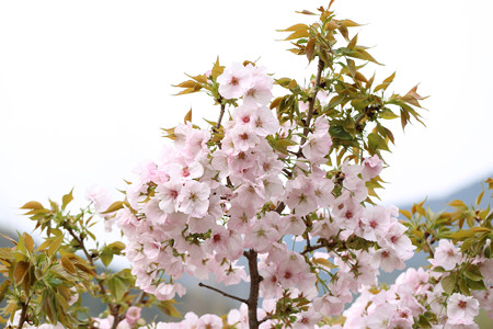 横輪桜 (6)
