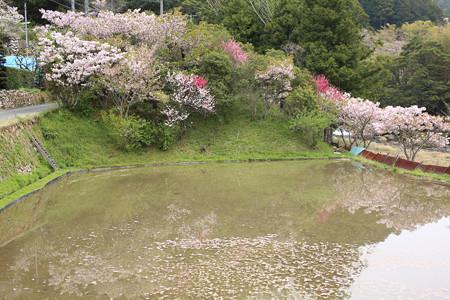 横輪桜 (7)