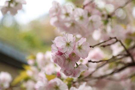 横輪桜 (13)