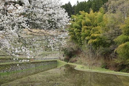 三多気の桜 (3)