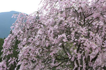 三多気の桜 (10)