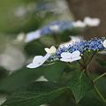 Photos: 後楽園の紫陽花