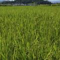 作山古墳と稲