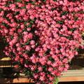 Photos: 後楽園の菊