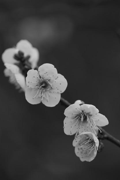 Photos: 梅