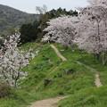 Photos: 古墳桜