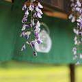 Photos: 藤の花