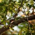 横枝にとまるアカゲラ でも尾羽で枝を支えてる(^_^;)
