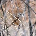 藪に隠れるホオジロさん