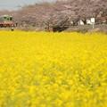 北真岡の菜の花と桜