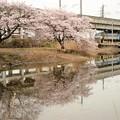 桜とEF66 131牽引高速貨物