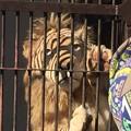 Photos: ライオンの肉球
