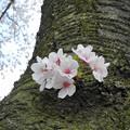 桜~2016-3