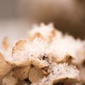 写真: 綿雪 紫陽花
