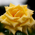 薔薇-京都植物園-8897