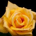 薔薇-京都植物園-8900