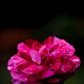 薔薇-京都植物園-8966