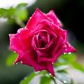 薔薇-京都植物園-9043