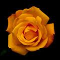 薔薇-京都植物園-9065